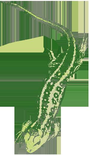 Zauneidechse